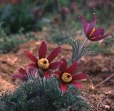 pasqueflower.jpg